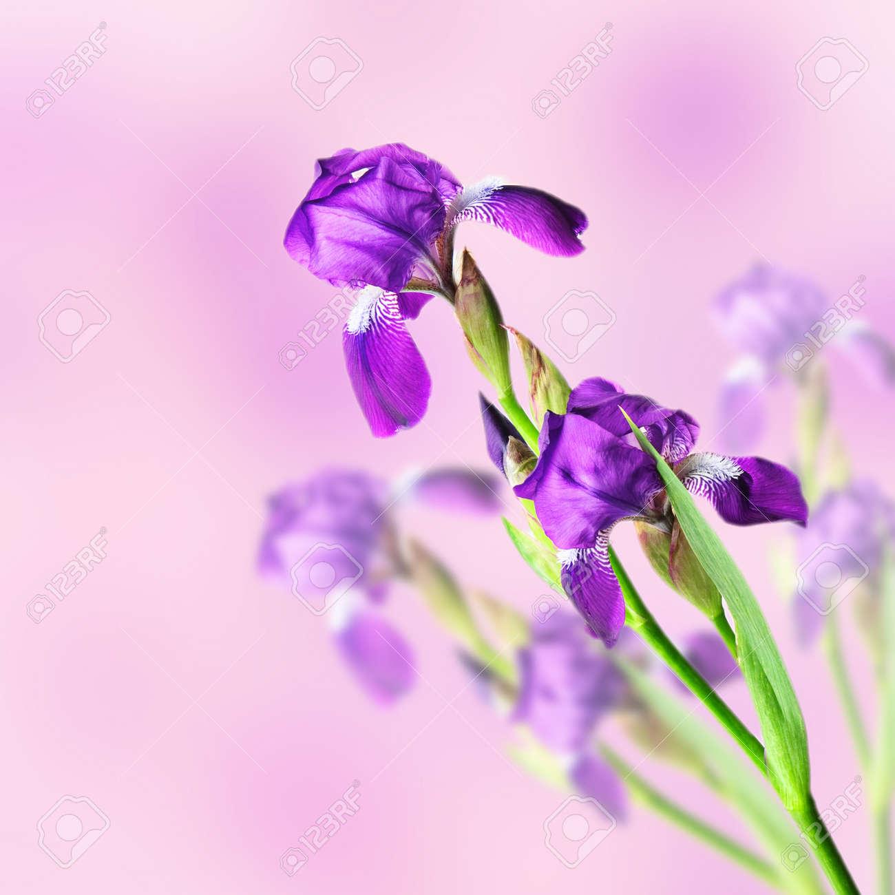 Iris flowers Stock Photo - 10201080