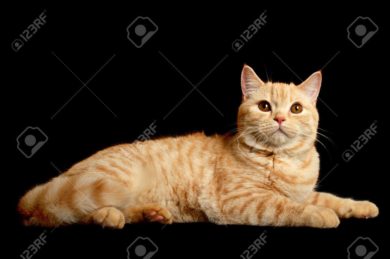 Scottish purebred cat Stock Photo - 10914761