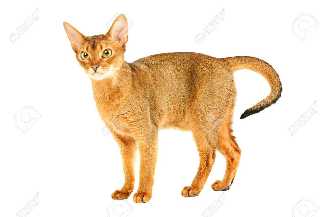 Abyssinian cat Stock Photo - 11137651