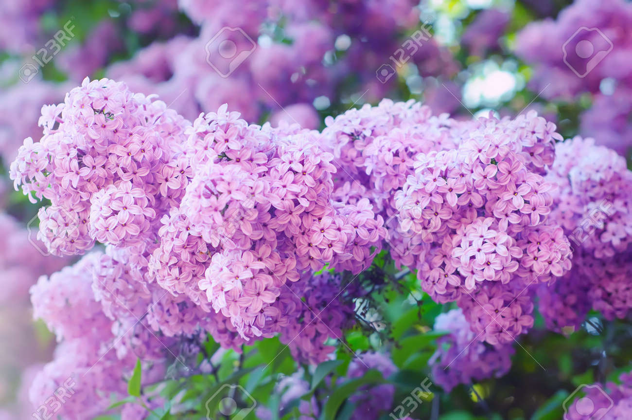 Branch of lilac flowers Stock Photo - 11413482