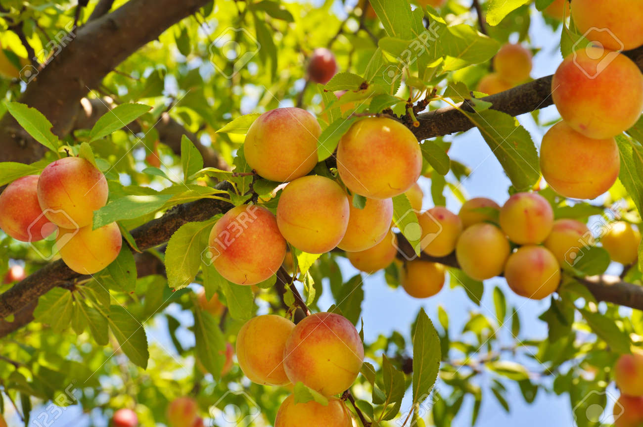 Good Tree With Fruits Part - 14: Plum Tree With Fruits Stock Photo - 17211356