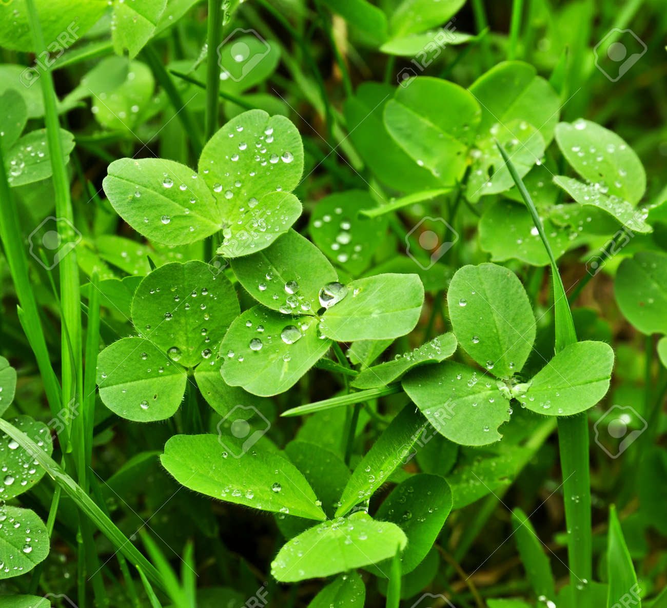 Clover plants Stock Photo - 18024956