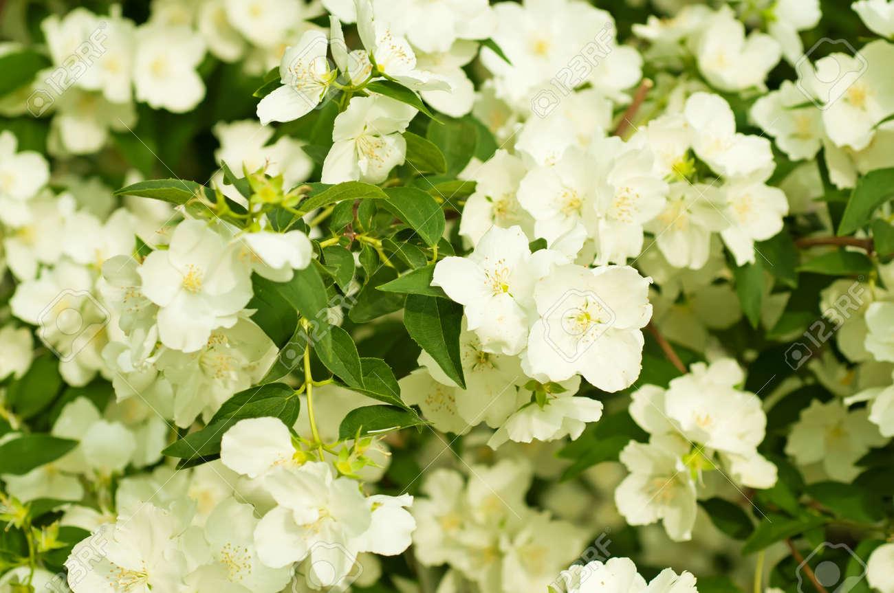 Jasmine flower growing on the bush in garden floral background jasmine flower growing on the bush in garden floral background stock photo 22848257 izmirmasajfo