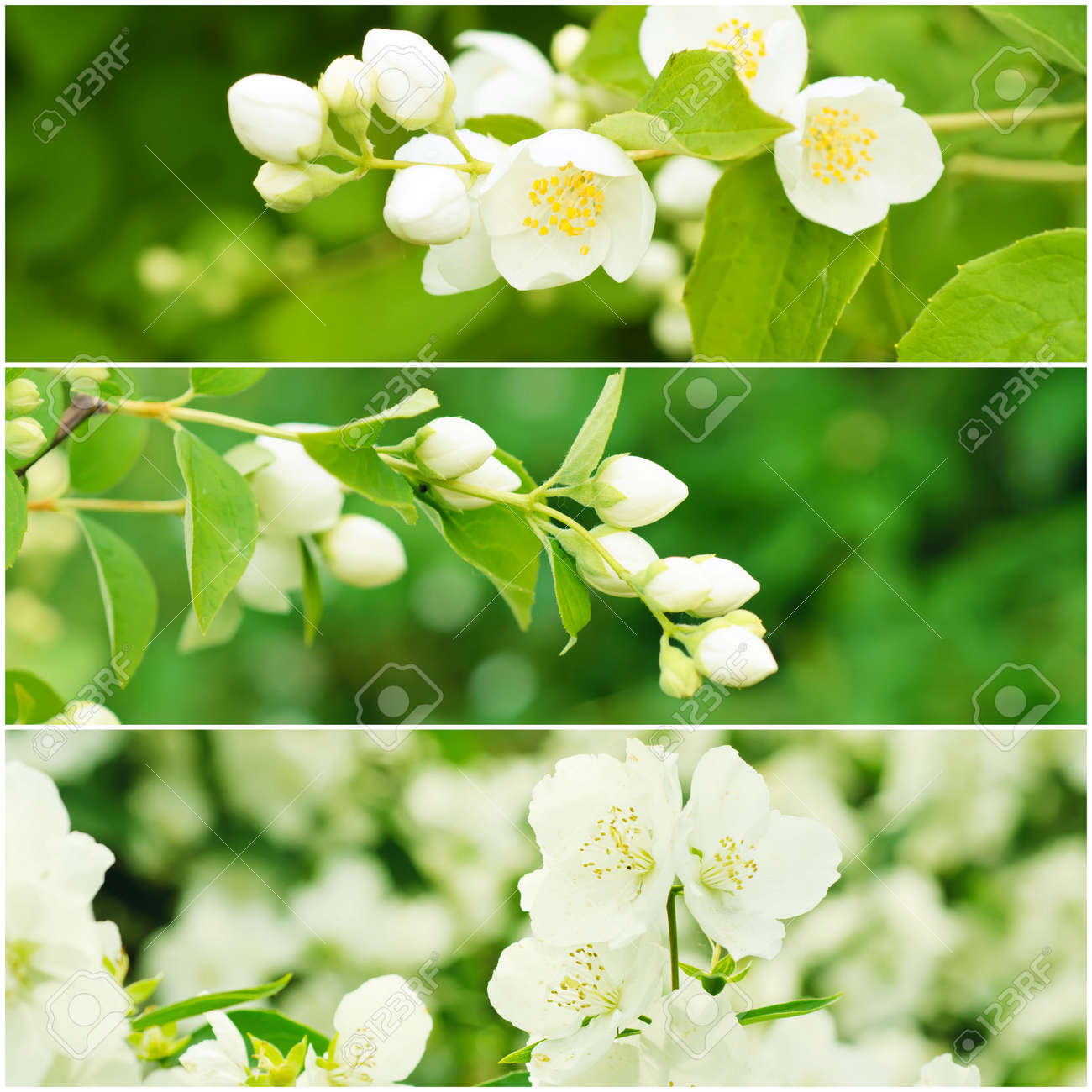 Collection Of Jasmine Flowers At Summer Time With Green Leaves