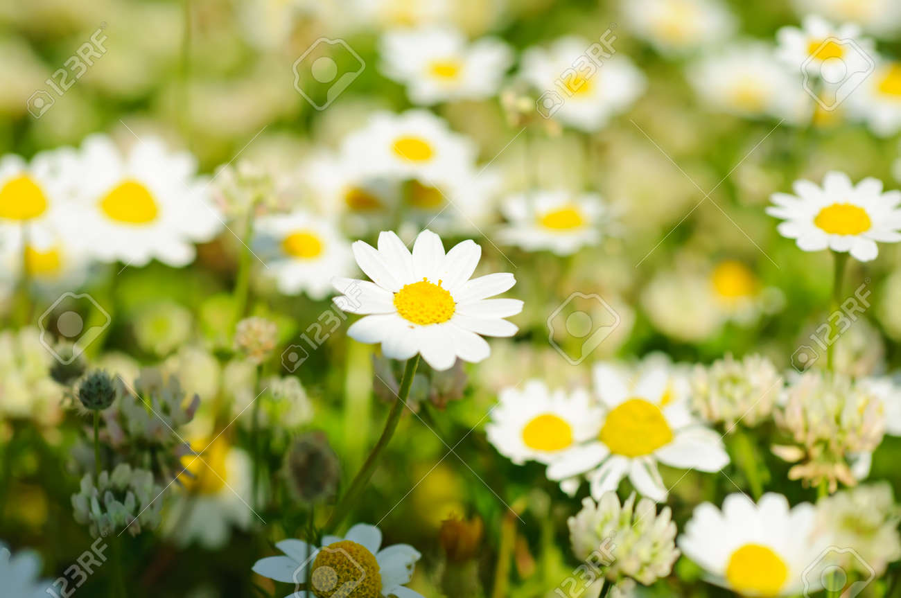 Wild camomile daisy flowers growing on green meadow stock photo stock photo wild camomile daisy flowers growing on green meadow izmirmasajfo
