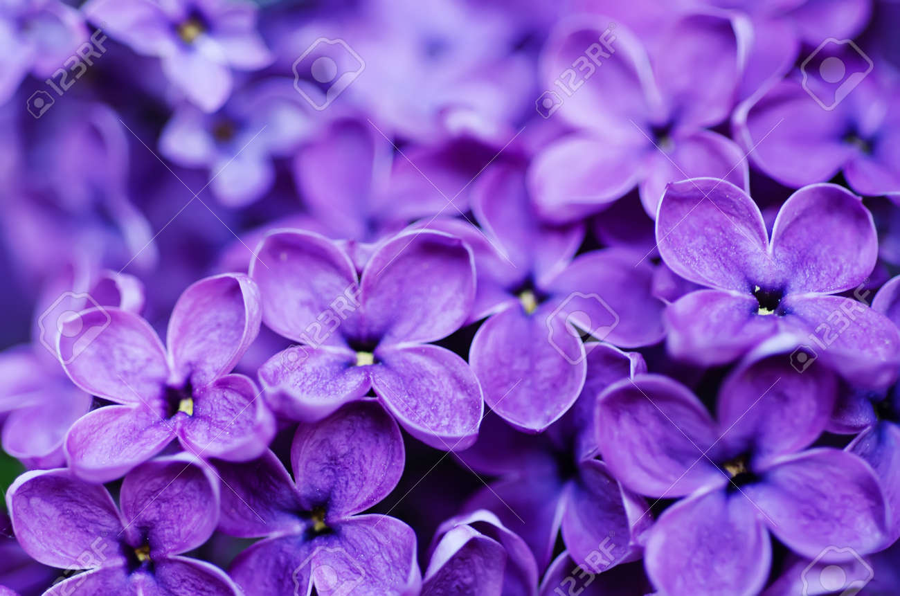 Macro Image Of Spring Lilac Violet Flowers Abstract Soft Floral Stock Photo Picture And Royalty Free Image Image 29239724