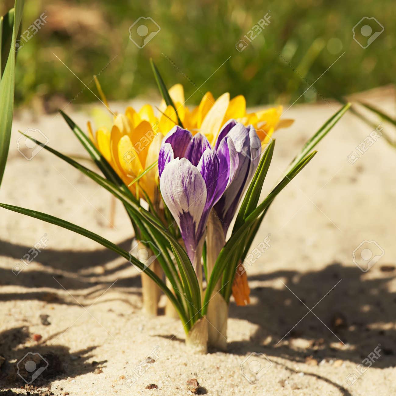 Florecimiento de la flor de azafrán amarilla y púrpura en la primavera,  macro Foto de