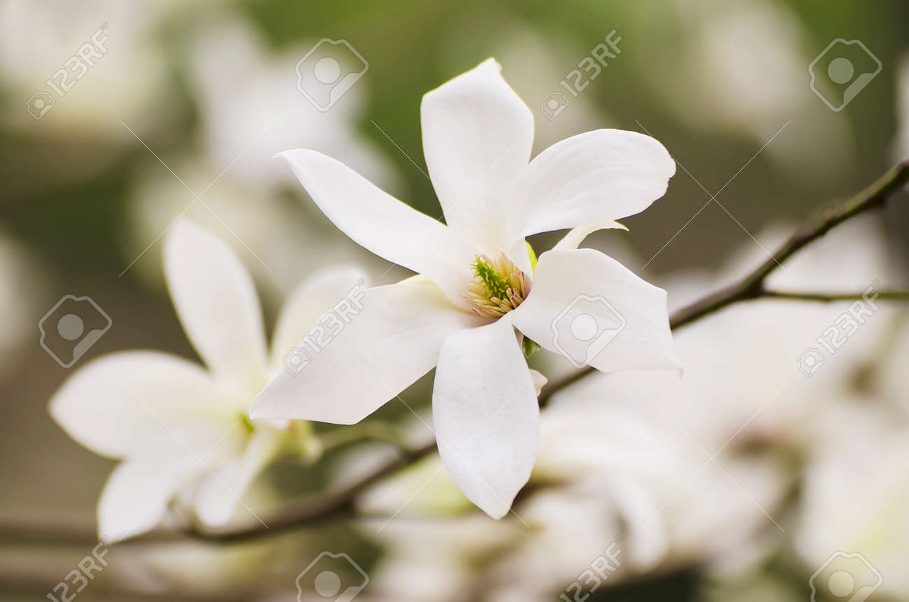 Blossoming of white magnolia flowers in spring time natural stock blossoming of white magnolia flowers in spring time natural floral seasonal background stock photo mightylinksfo