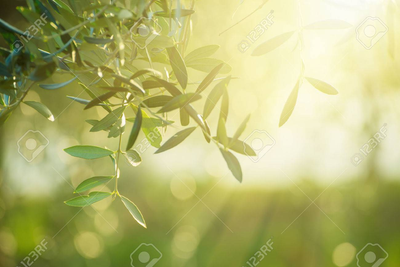 Olive Tree With Leaves Natural Sunny Agricultural Food Background