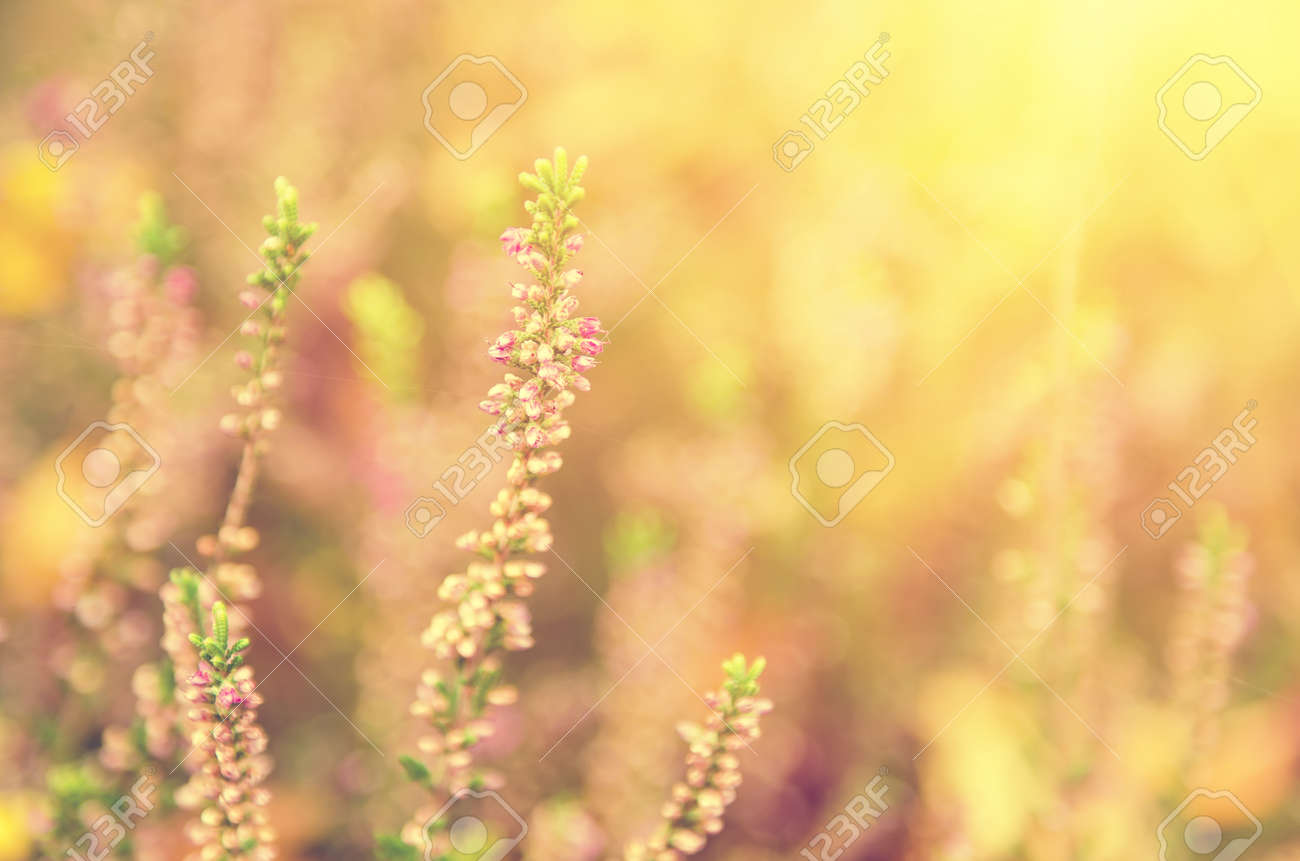 Blooming Of Beautiful Heather Flowers Natural Seasonal Vintage Hipster Floral Background Stock Photo