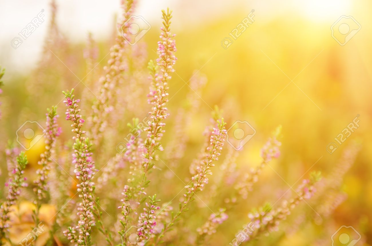Blooming Of Beautiful Heather Flowers Natural Seasonal Vintage