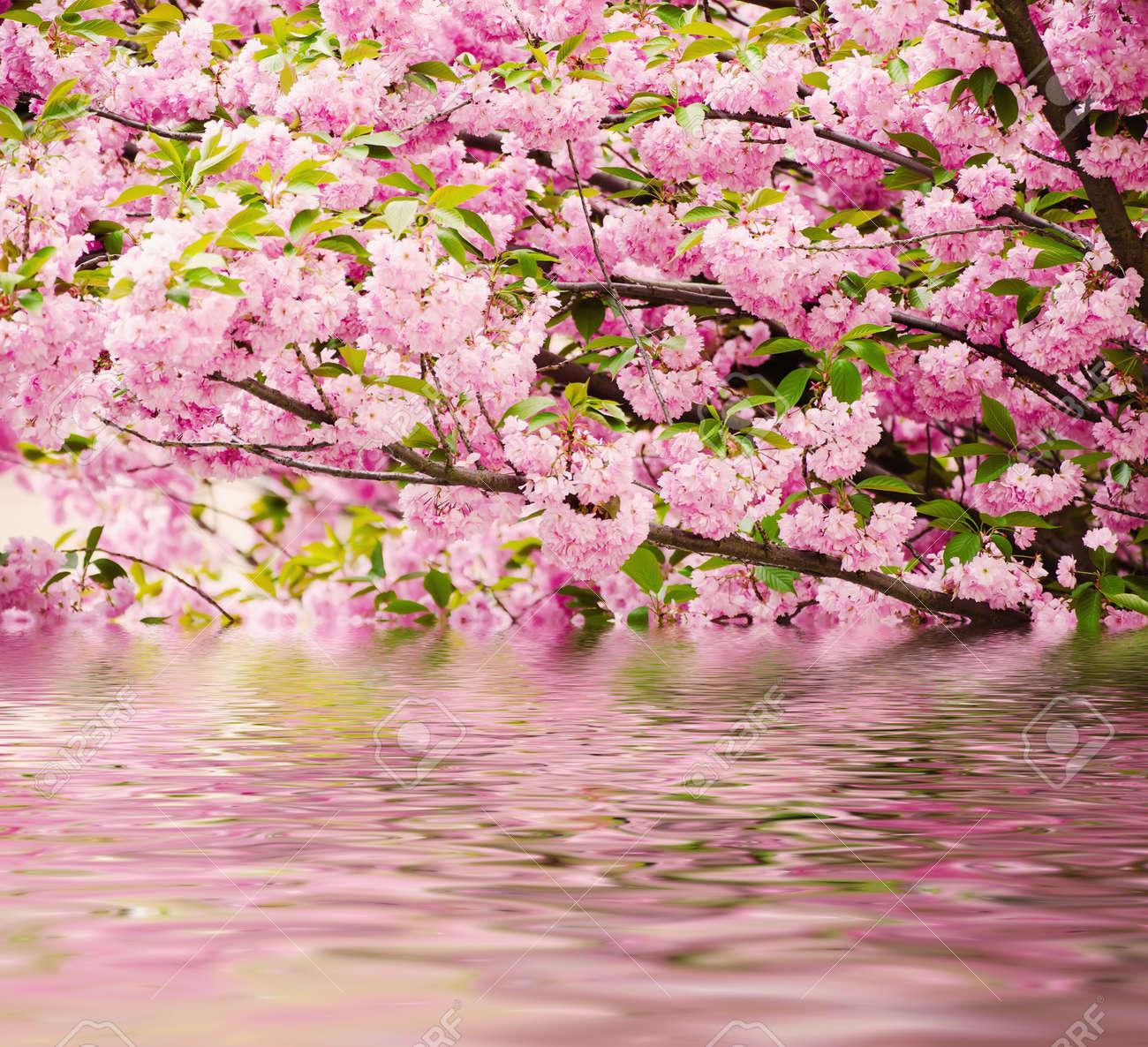 Fresh pink flowers of sakura growing in the garden, natural spring..