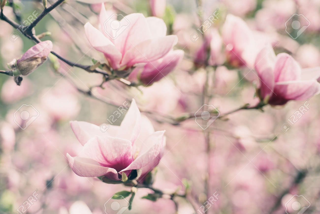 Blossoming Of Magnolia White Flowers In Spring Time Retro Vintage