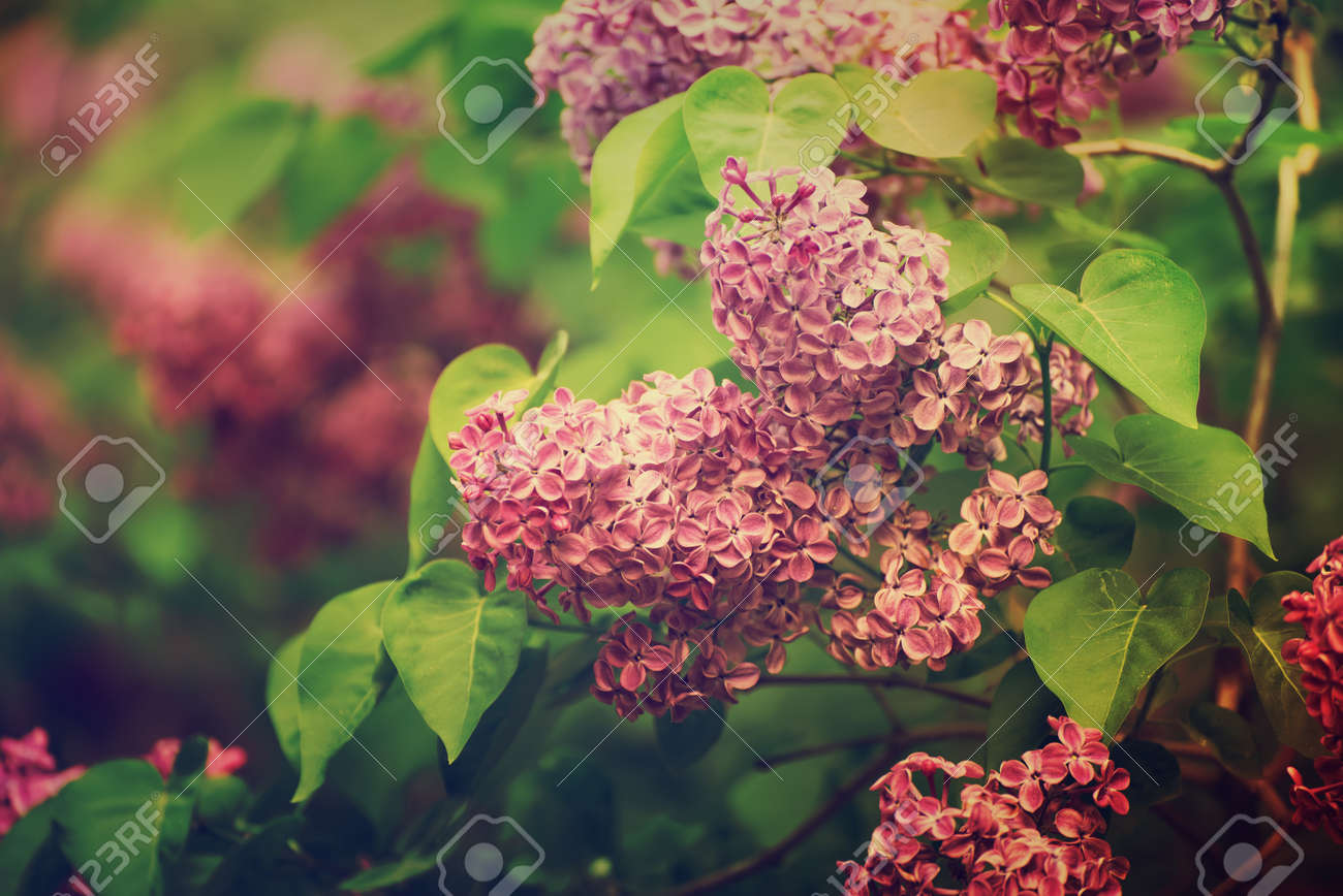 Branch Of Lilac Flowers With Green Leaves Floral Natural Vintage