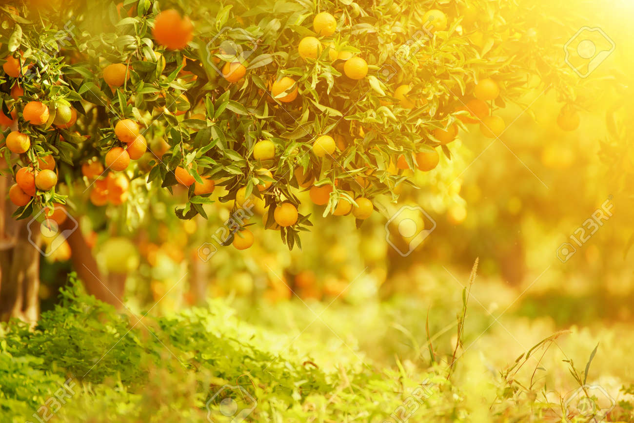 Tangerine Sunny Garden With Green Leaves And Ripe Fruits Mandarin Stock Photo Picture And Royalty Free Image Image 66726655