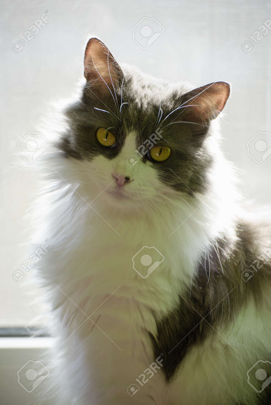 Cute fluffy domestic cat with yellow eyes and white gray fur..