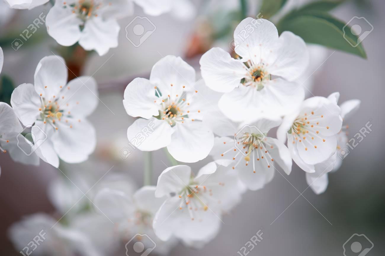 Cherry spring flowers Stock Photo - 83499078