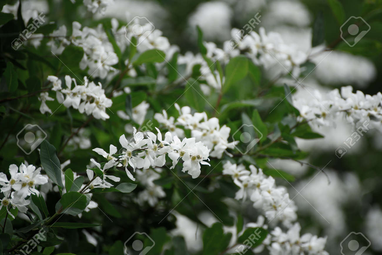Spring White Flowers Stock Photo Picture And Royalty Free Image