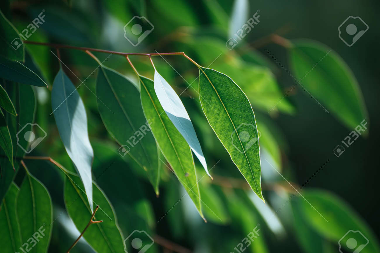 Eucalyptus green leaves - 142337026