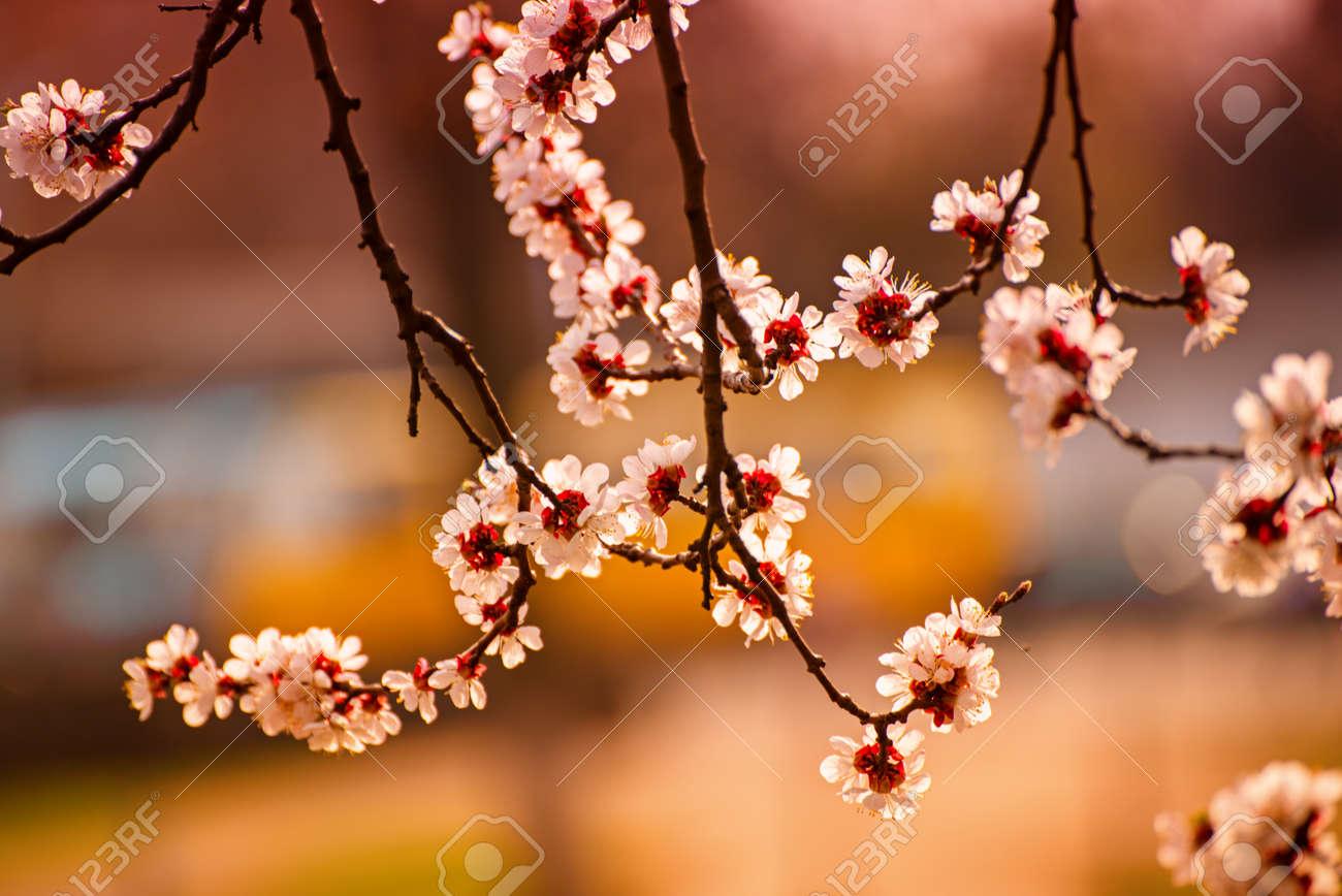 Apricot tree blossoms - 149148269