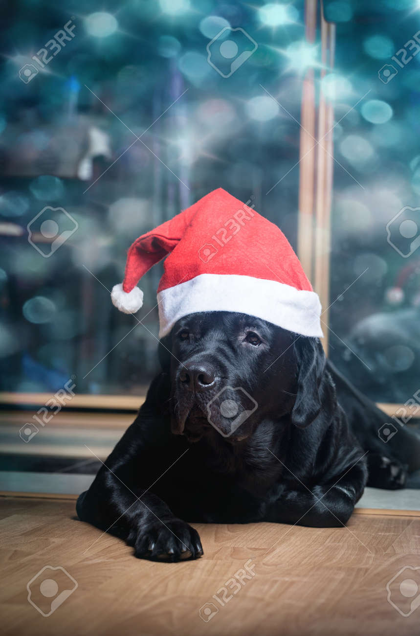 Black Labrador Retriever Stock Photo Picture And Royalty Free Image Image 113340738