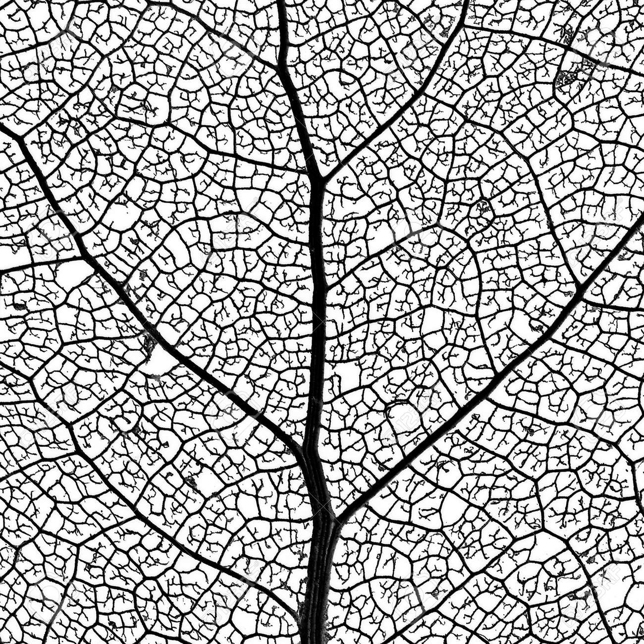 Leaf Skeleton Leaf Skeleton