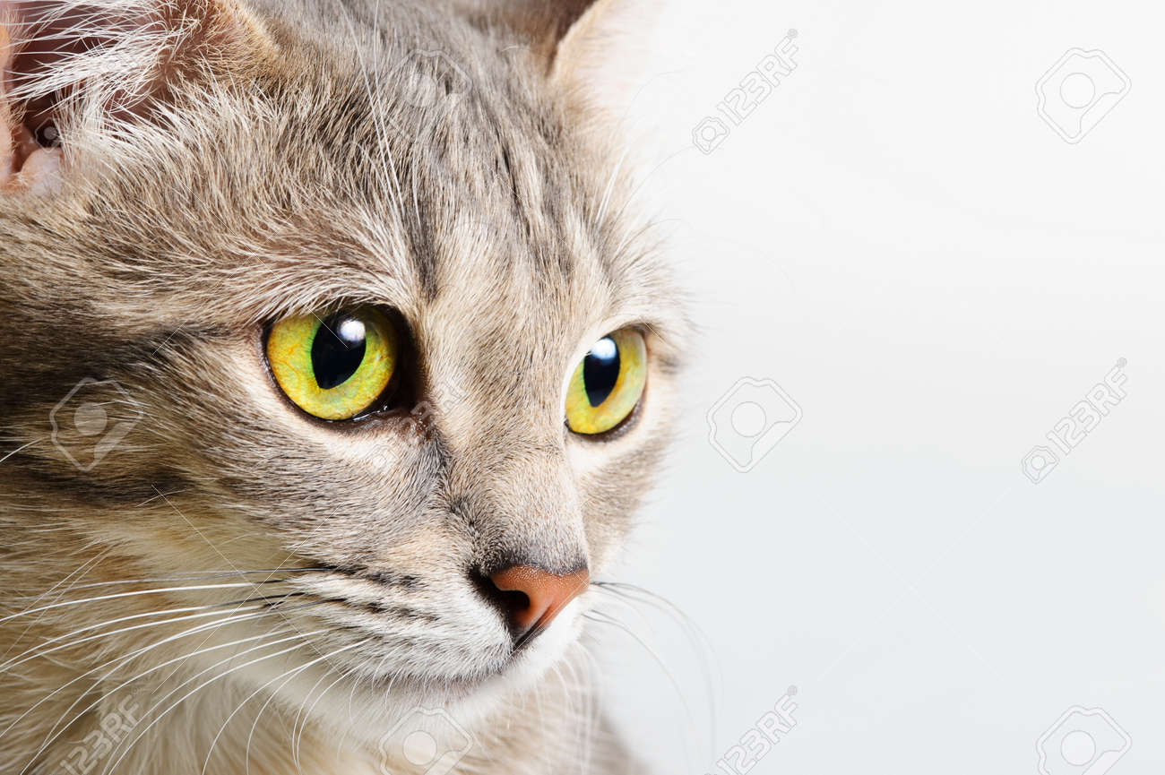 head cat close up on a white background Stock Photo - 10218500