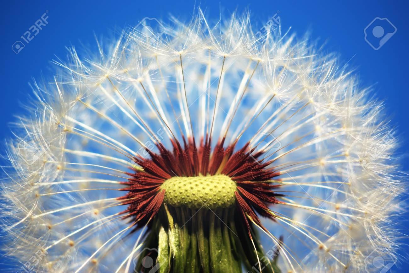Macro of dandelion. Nature composition. Stock Photo - 9414302