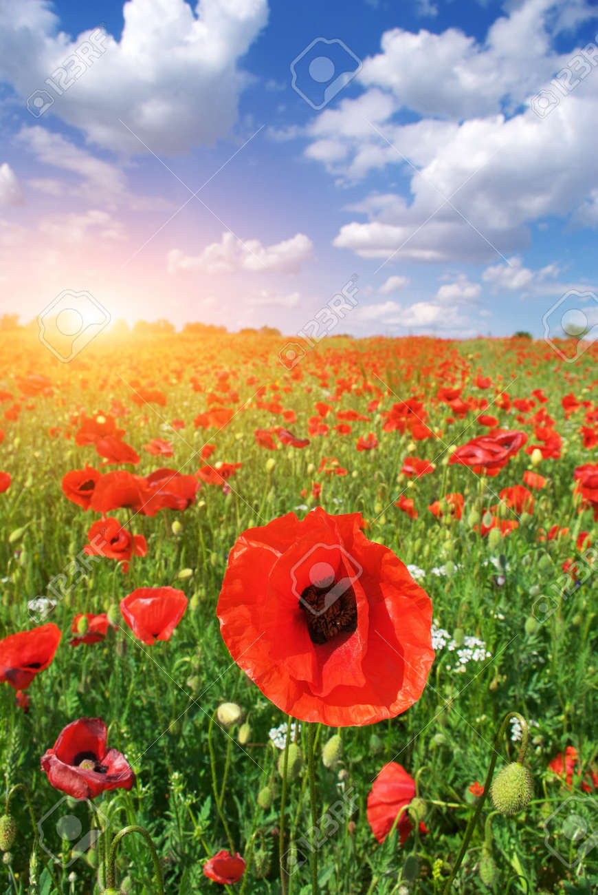 Big meadow of poppies. Composition of nature. Stock Photo - 9913827