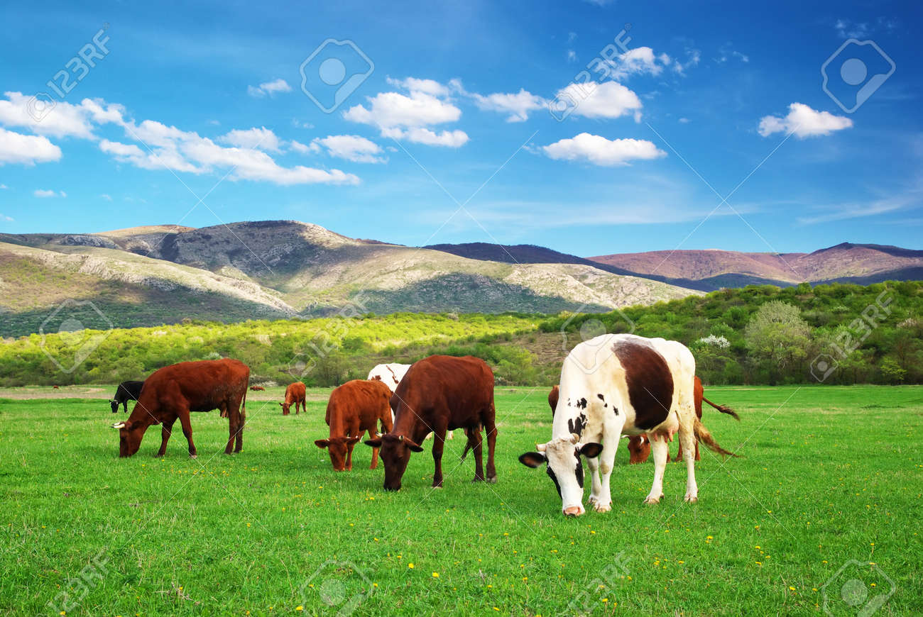 Cow On Green Meadow Nature Composition Real Stock Photo