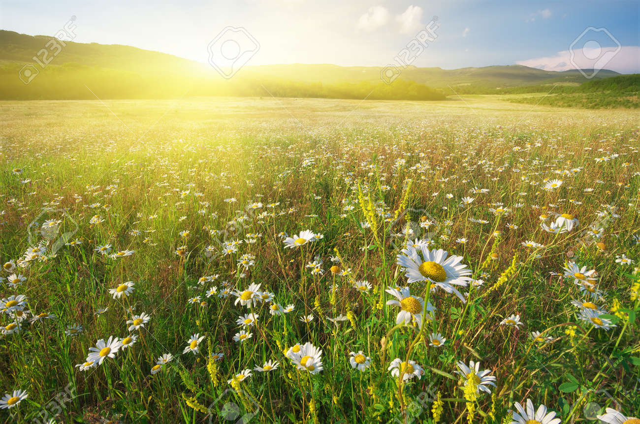 Spring flowers of daisy in meadow beautiful landscapes stock photo spring flowers of daisy in meadow beautiful landscapes stock photo 62463306 izmirmasajfo Choice Image