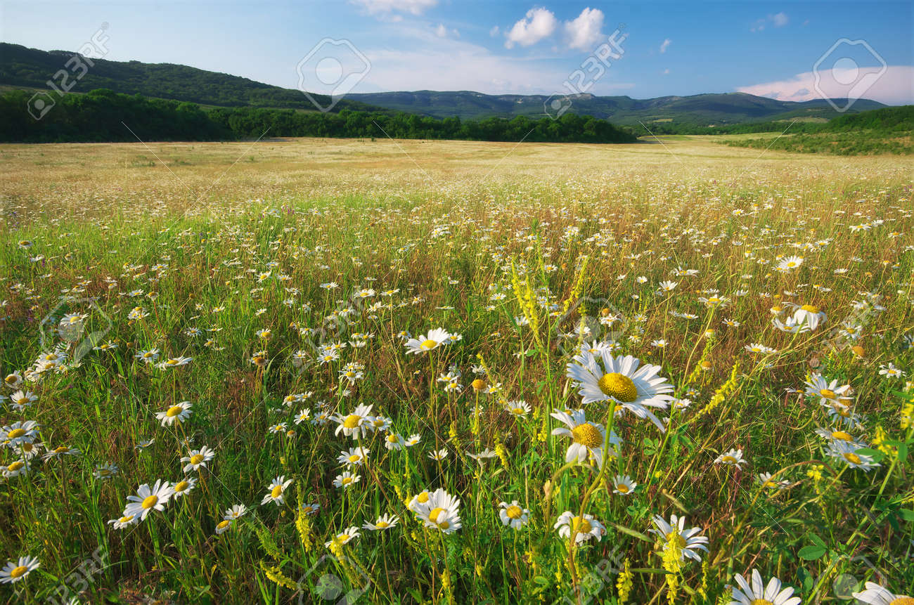 Spring flowers of daisy in meadow beautiful landscapes stock photo spring flowers of daisy in meadow beautiful landscapes stock photo 68455599 izmirmasajfo
