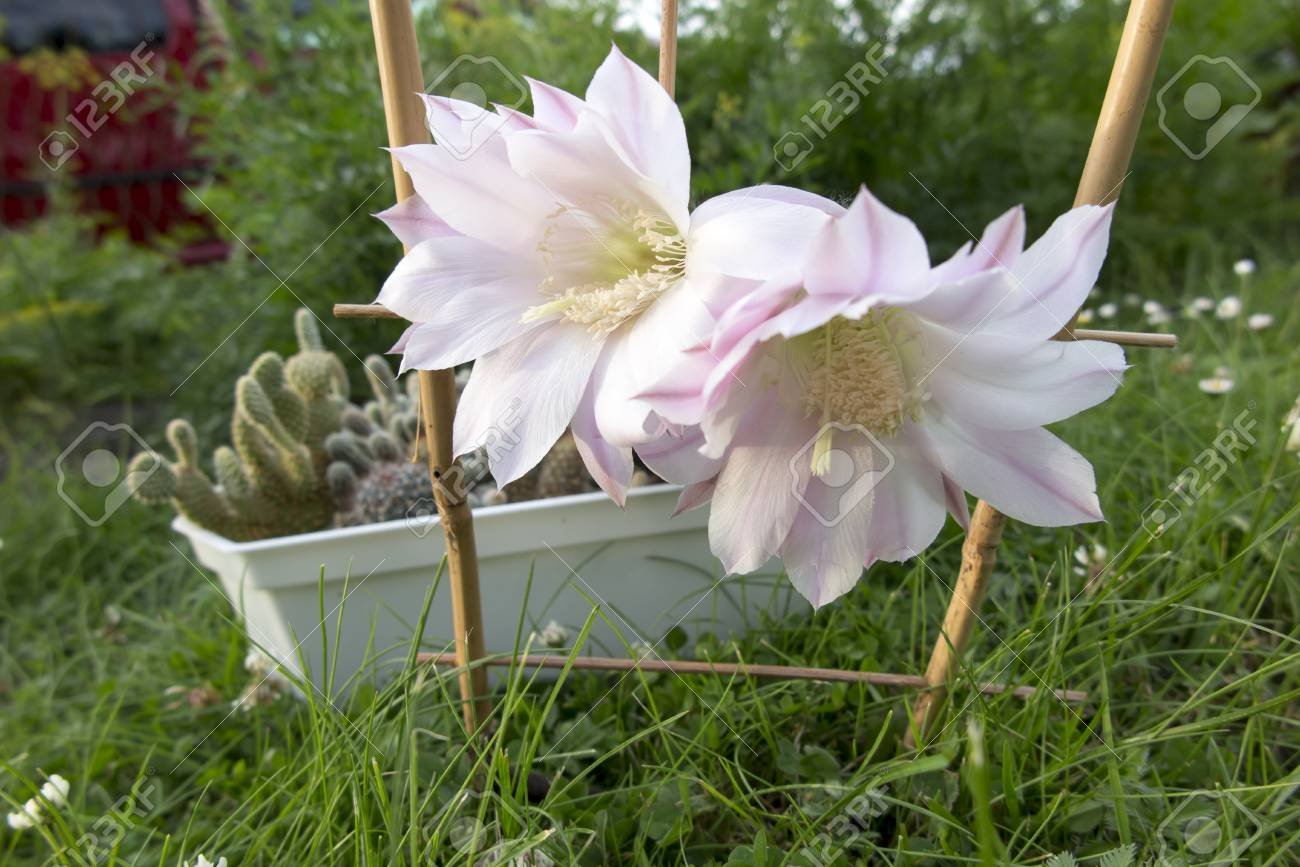 Two large pink flowers of a small potted cactus stock photo picture stock photo two large pink flowers of a small potted cactus mightylinksfo