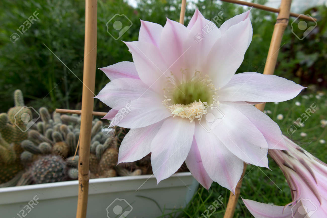 Two Large Pink Flowers Of A Small Potted Cactus Stock Photo Picture