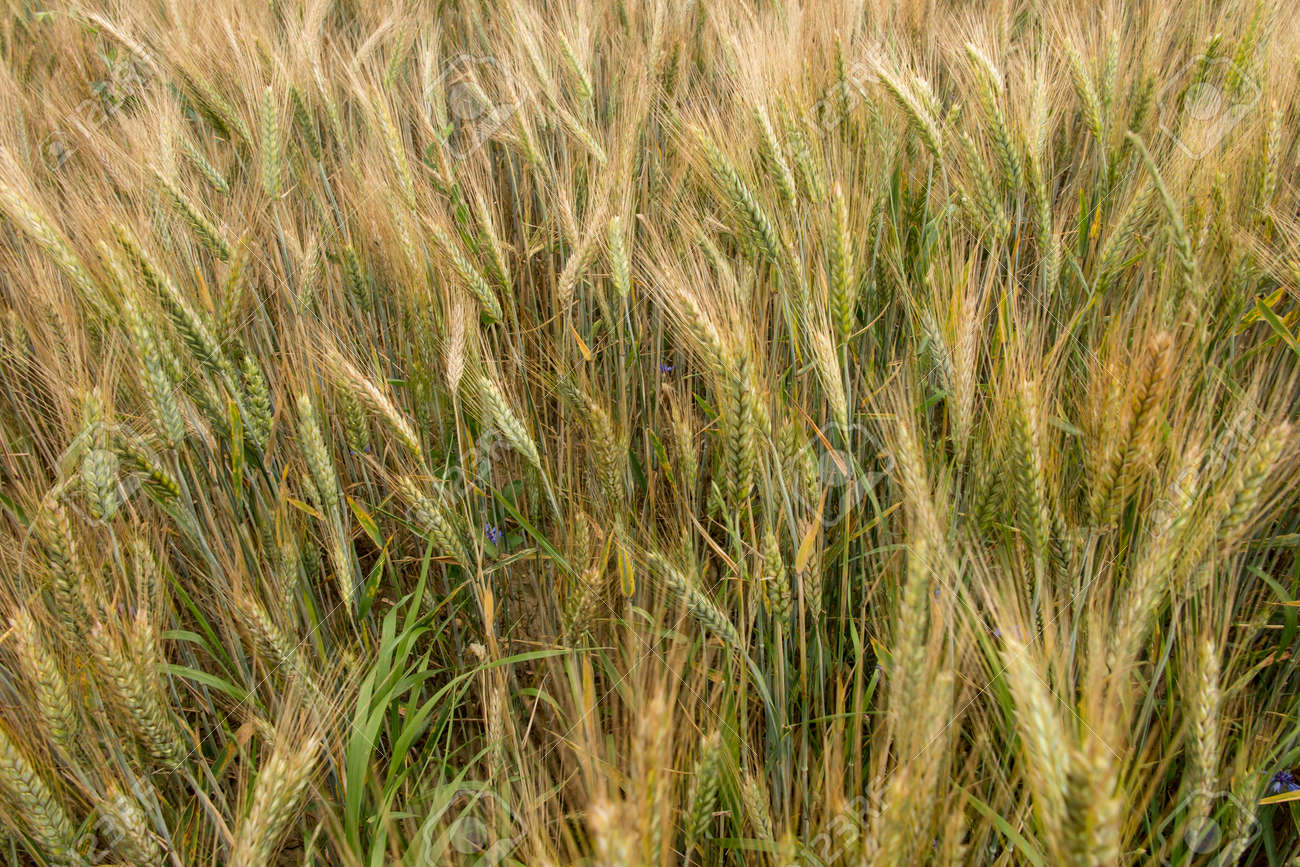 not completely ripe ears of grain, mainly barley as a background, - 158052350