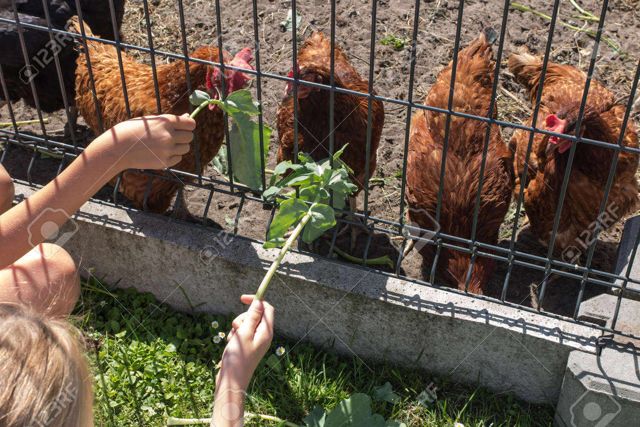 the children feed the chickens that are behind the wire mesh fence with the grass and leaves of vegetables - 168895487
