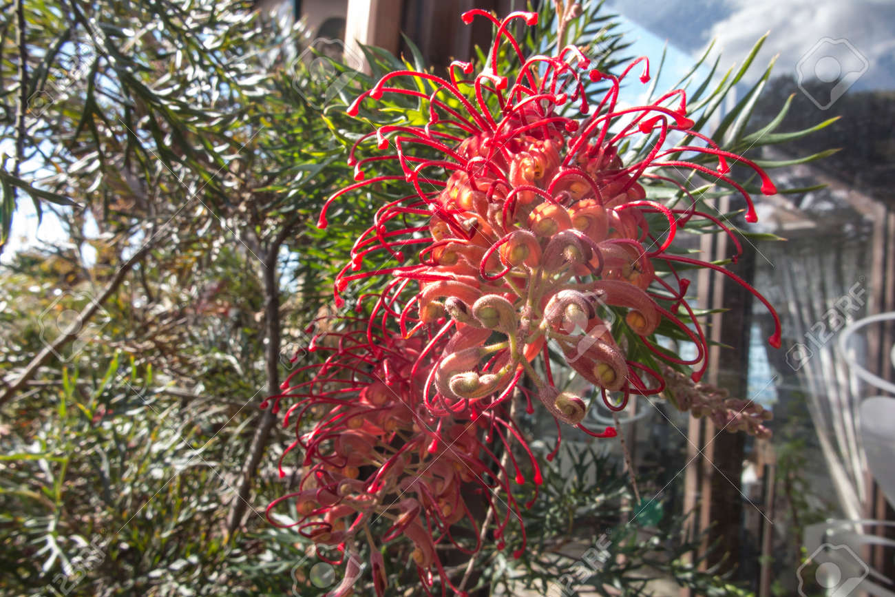 Large shrub with large, blood red flowers throughout the year. One of the original grevilleas and the parent of many hybrid grevilleas. - 157912246
