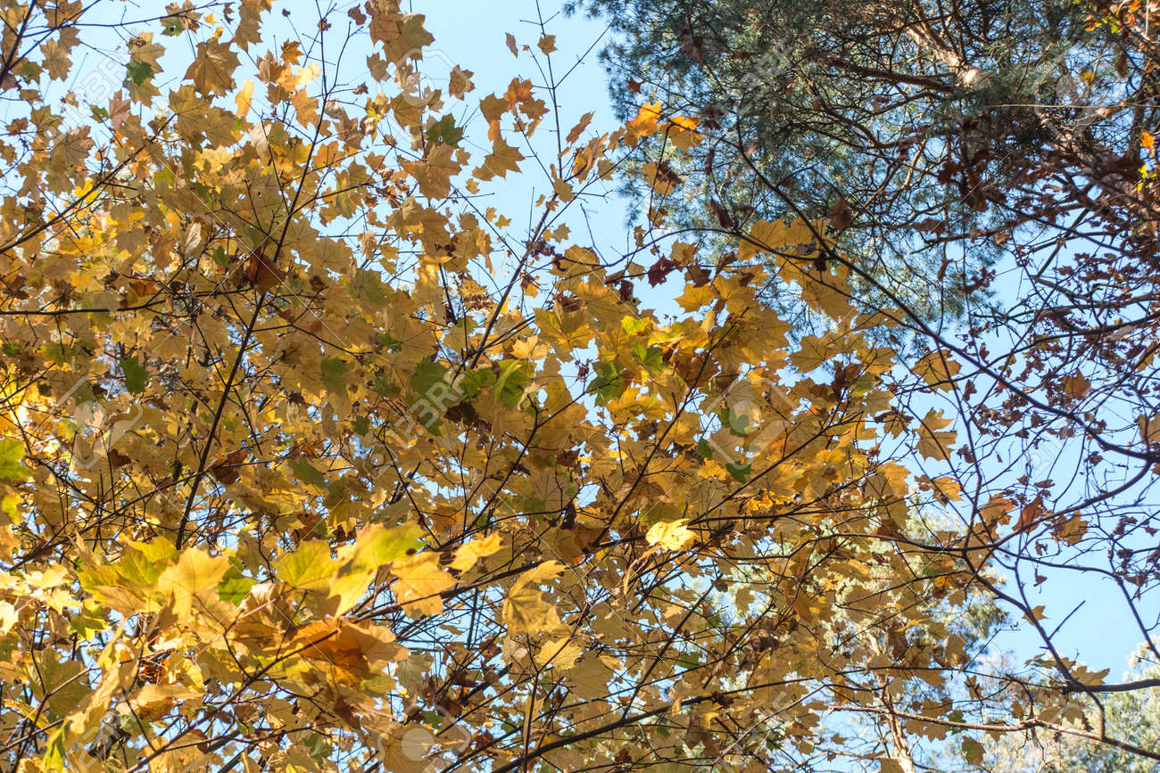 Autumn in a mixed, deciduous and coniferous forest - 157852297