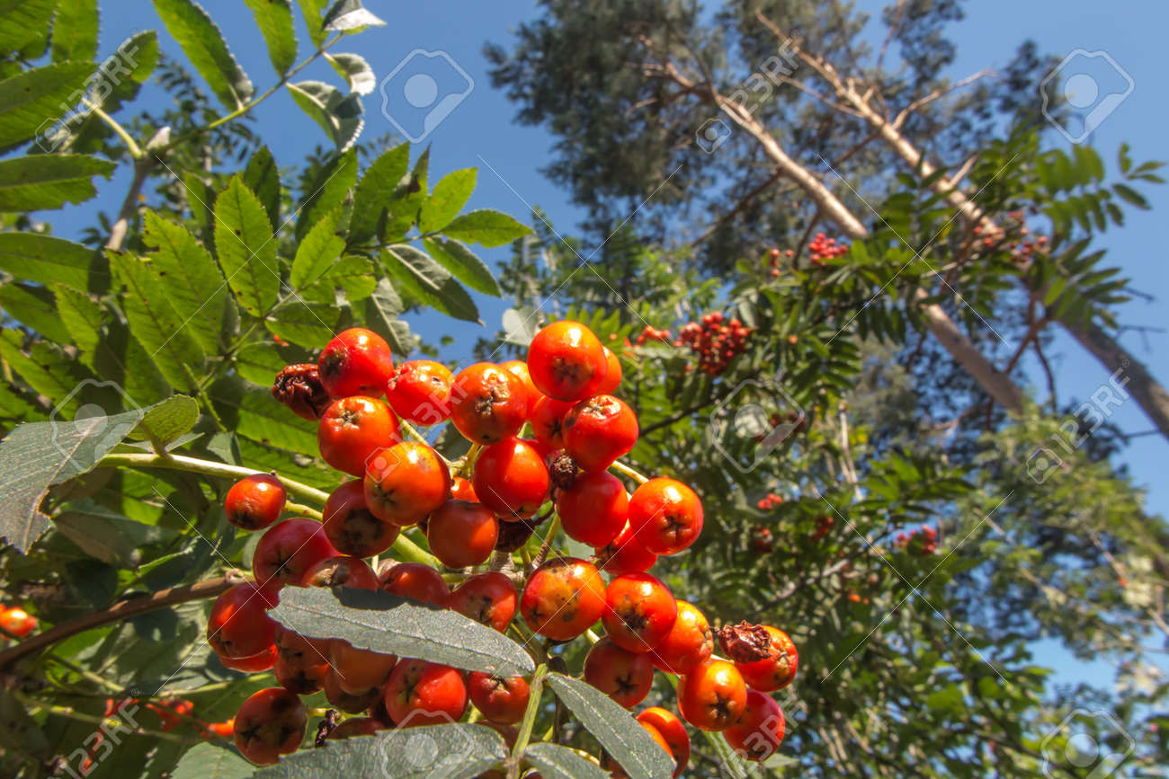 rowan branch with red ripening fruits - 157852344