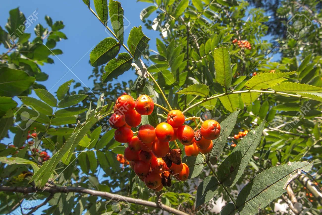 rowan branch with red ripening fruits - 157852349