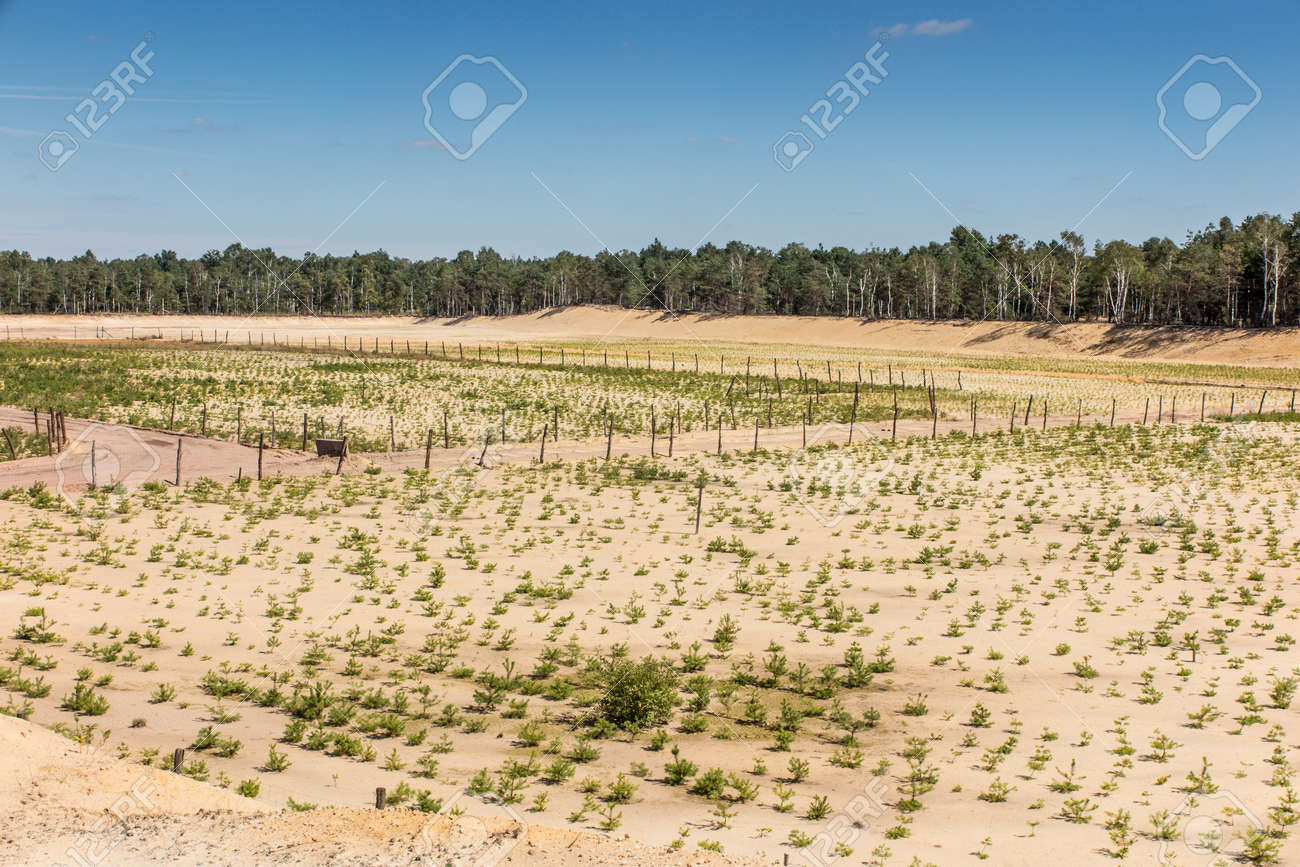 afforestation of the former sand mine, planted with pine seedlings - 157912288