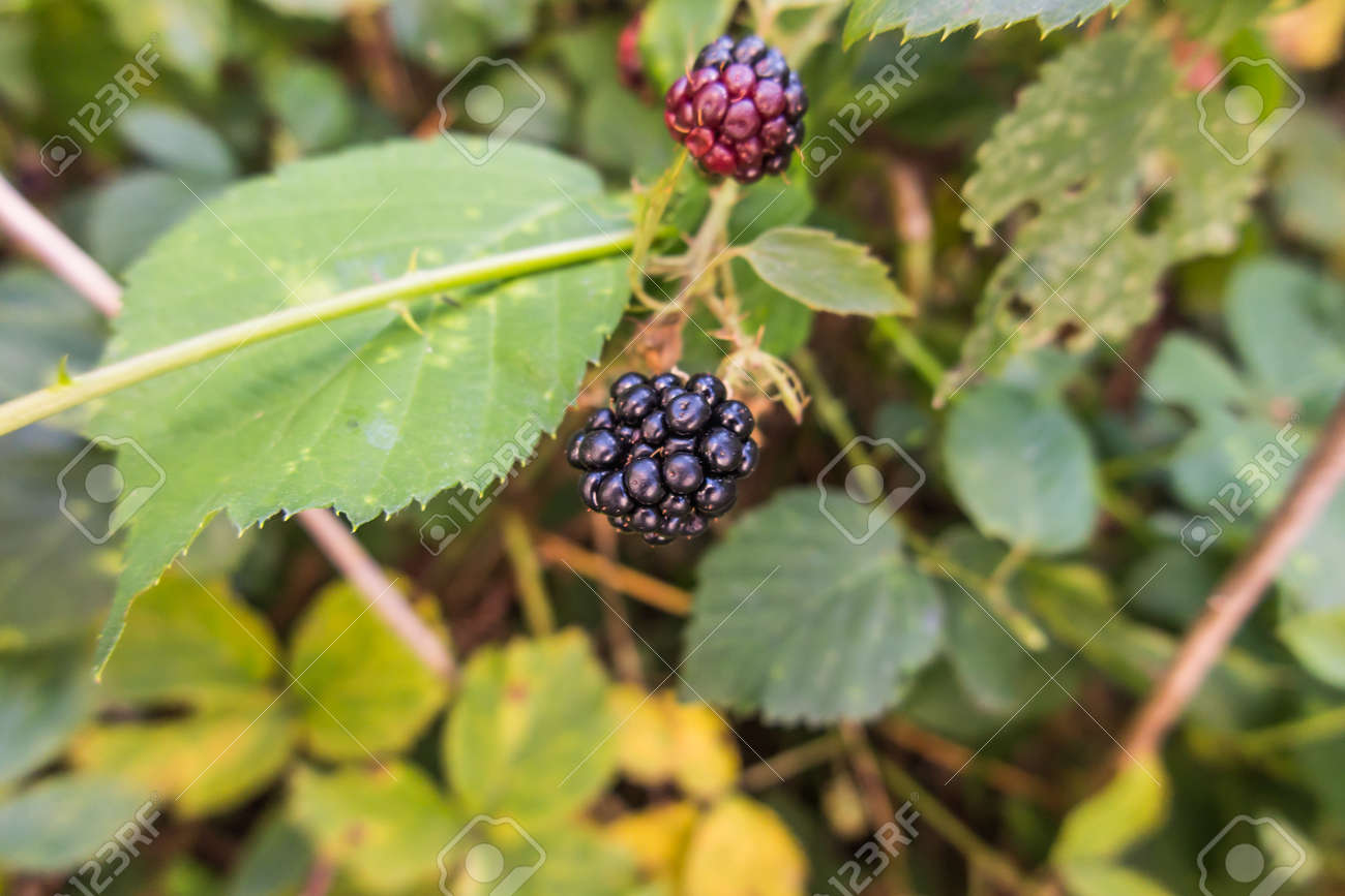wild blackberry fruits forming thickets near the forest and meadows - 158264320