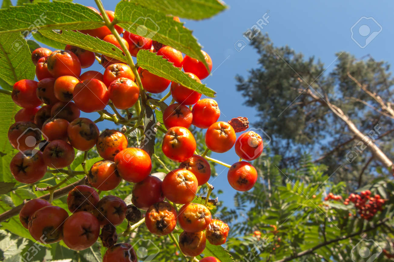 rowan branch with red ripening fruits - 158264322