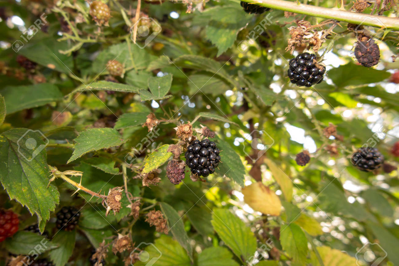 wild blackberry fruits forming thickets near the forest and meadows - 158195411