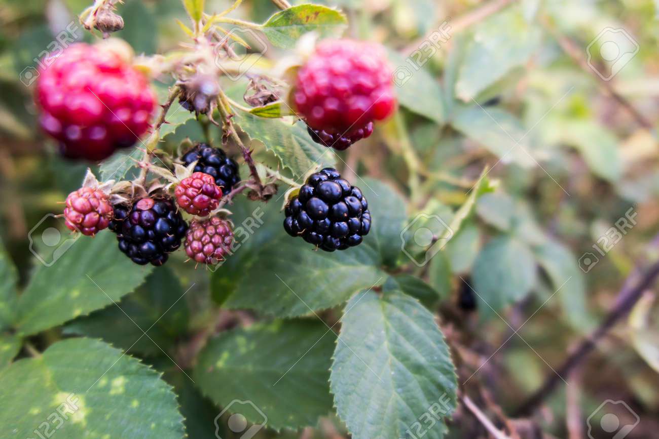 wild blackberry fruits forming thickets near the forest and meadows - 158195412