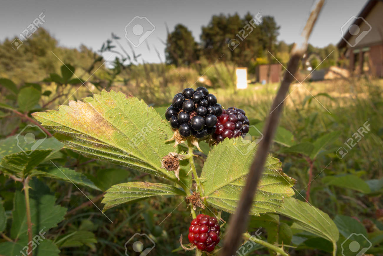 wild blackberry fruits forming thickets near the forest and meadows - 158195416
