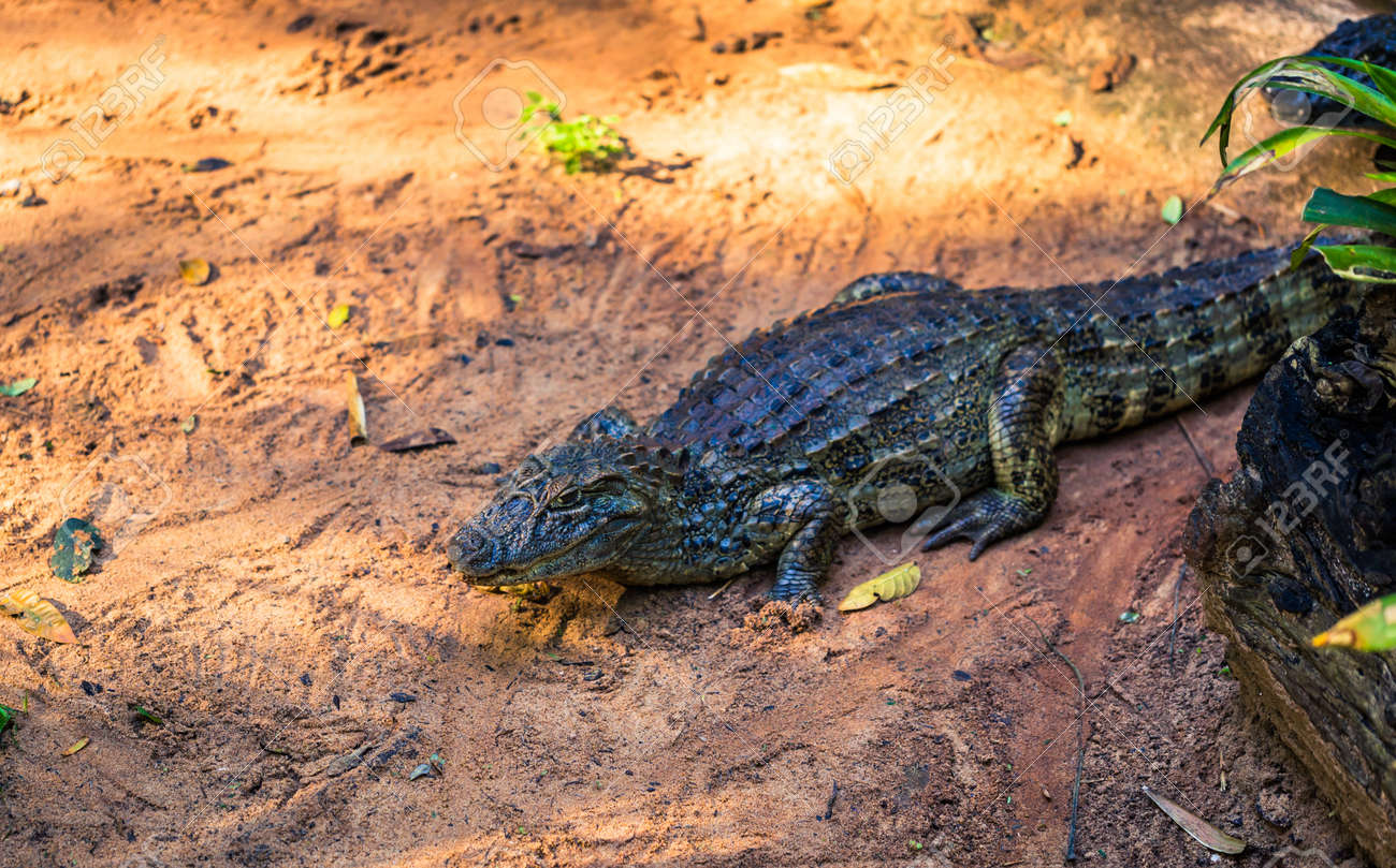 9a265ec36fc2 Cayman Crocodile In Bird Park In Foz Do Iguazu