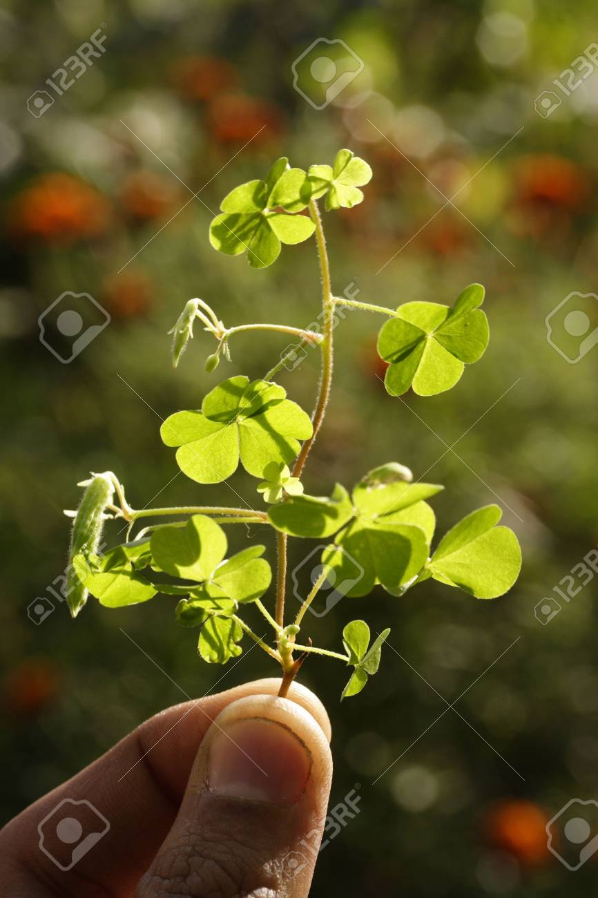 Holding clover twig Stock Photo - 2562212