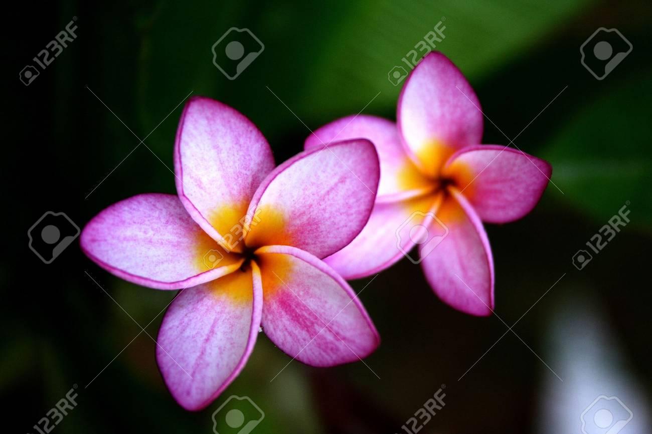 Banque d\u0027images , Belles fleurs de frangipaniers