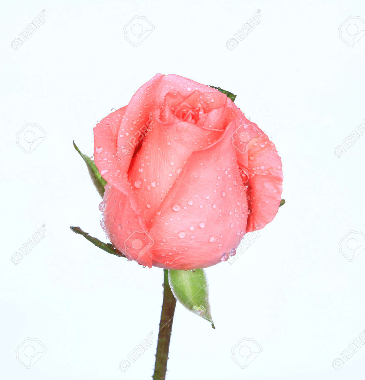 rose on the white background Stock Photo - 10908608